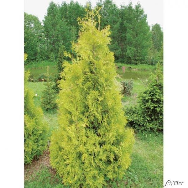 Lebensbaum 'Jantar' Thuja occidentalis 'Jantar' Bild