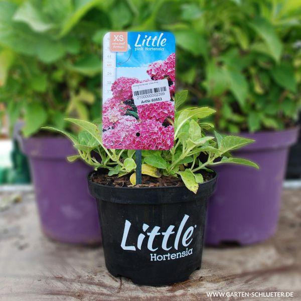 Zwerg-Hortensie 'Little Pink' Bild