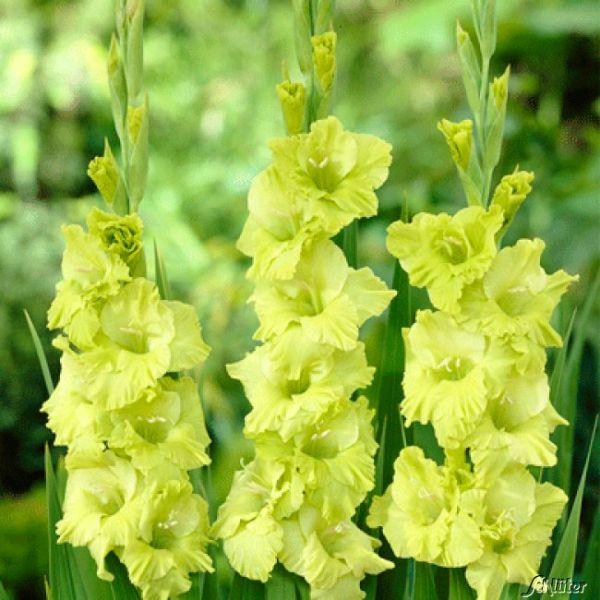 Gladiole 'Green Star' - 10 Stück Gladiolus communis Bild