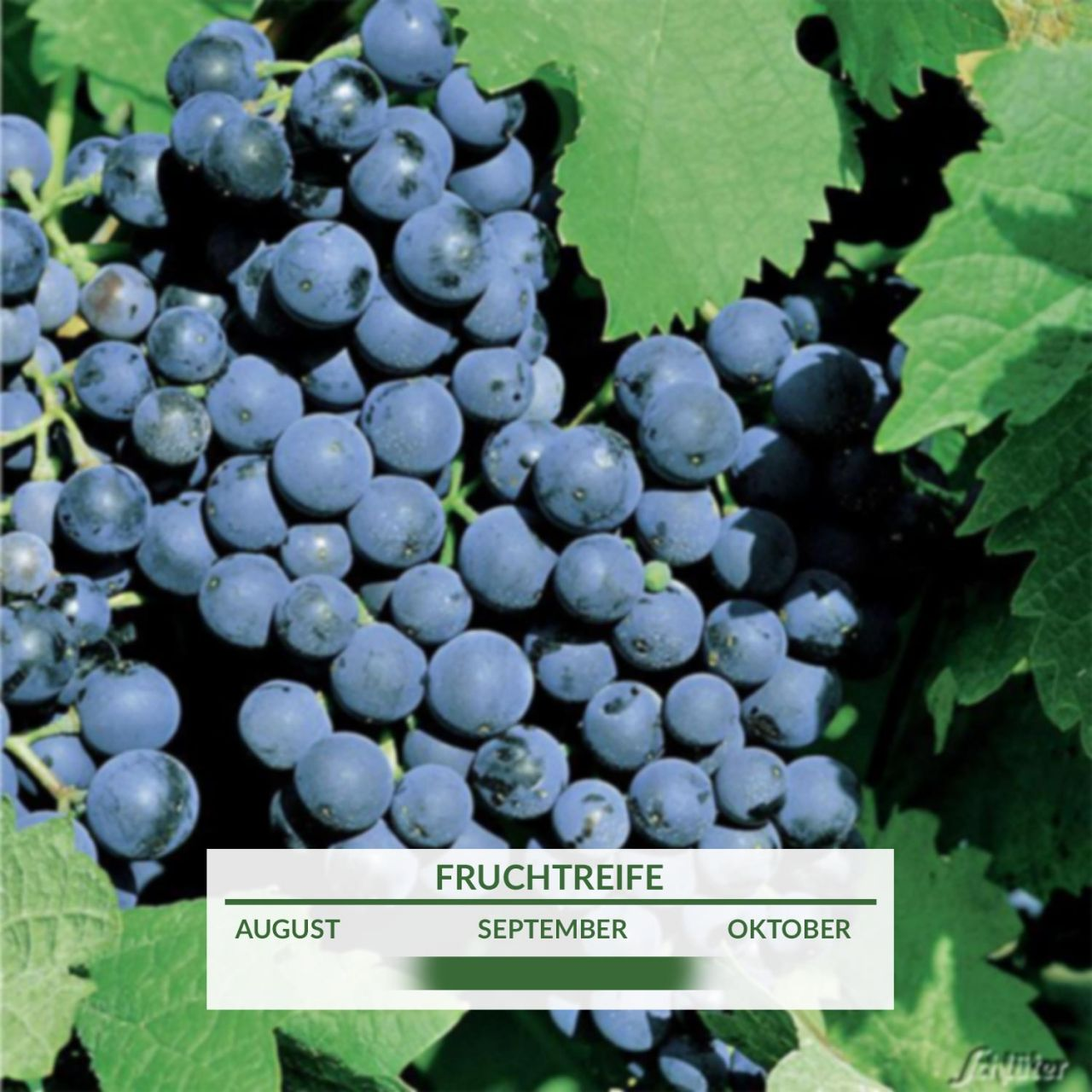 Weintraube 'Dornfelder'