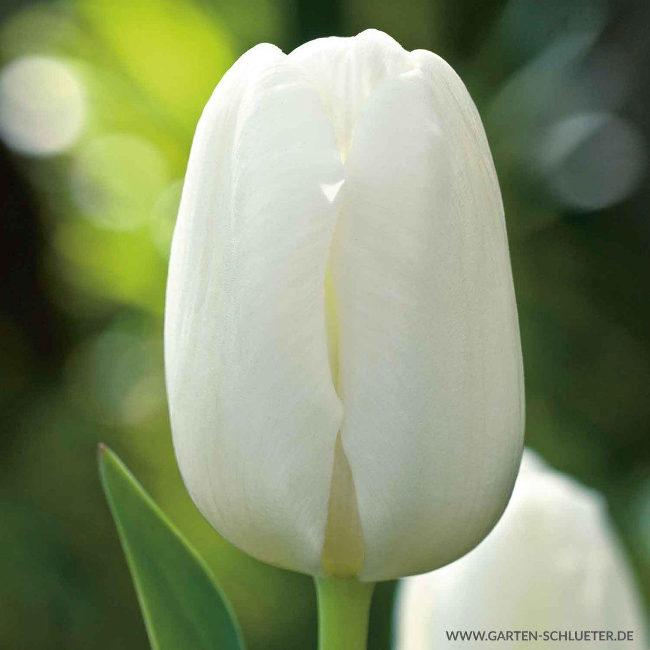 Garten-Schlueter.de: Einfache frühe Tulpe Pim Fortuyn - 10 Stück