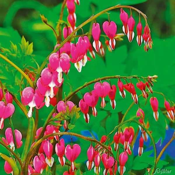 Tränendes Herz (rosa) Dicentra spectabilis Bild