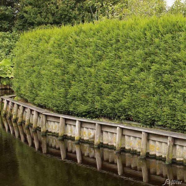 Lebensbaum - Thuja 'Brabant' Thuja occidentalis 'Brabant' Bild