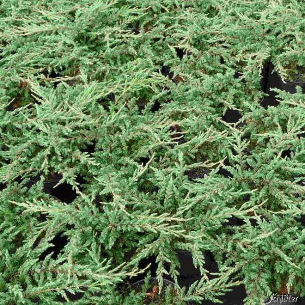 Grünwacholder 'Repanda' Juniperus communis 'Repanda' Bild