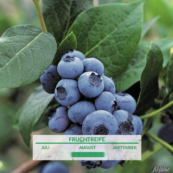 Heidelbeere 'Bluecrop' Vaccinium corymbosum 'Bluecrop' Bild