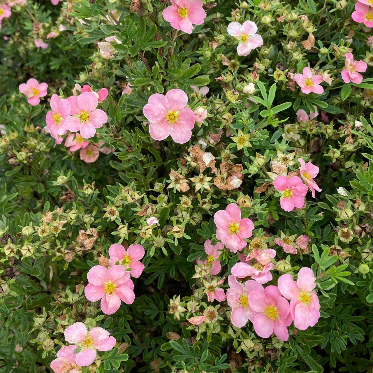 Fingerstrauch 'Pink Beauty' Potentilla 'Pink Beauty'