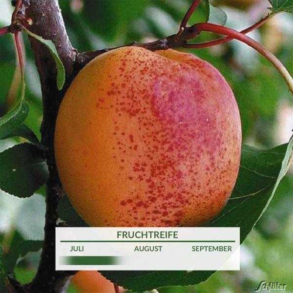 Aprikose 'Mino®' Prunus armeniaca 'Mino' Bild