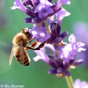 Oel-Lavendel_Bluete-300x300ki0tcjXLKmGrM