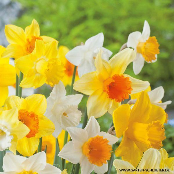 Großblumige Narzissen 'Mischung' Großblumige Narzissen - Mischung Bild