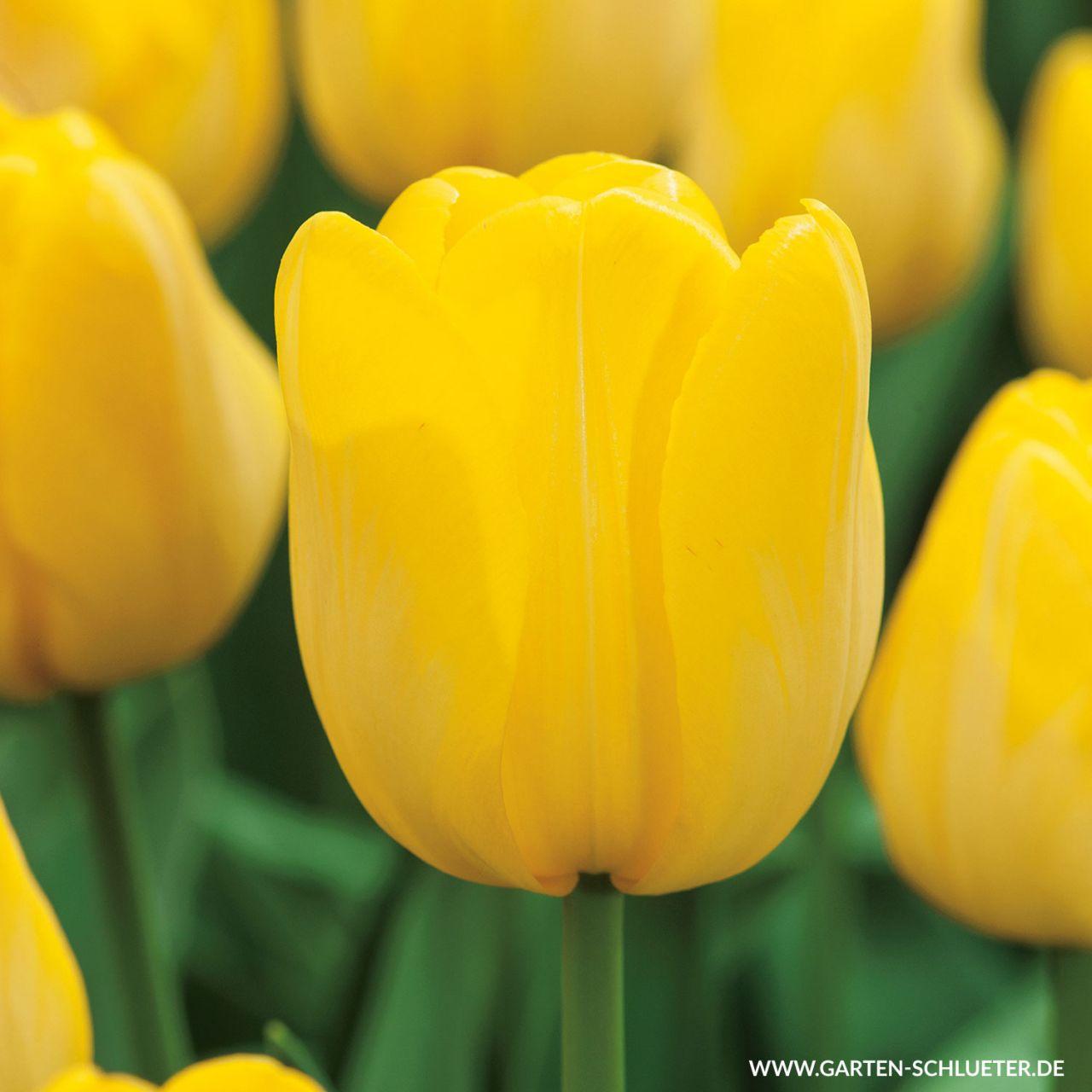 Garten-Schlueter.de: Triumph - Tulpe Jan van Nes - 10 Stück