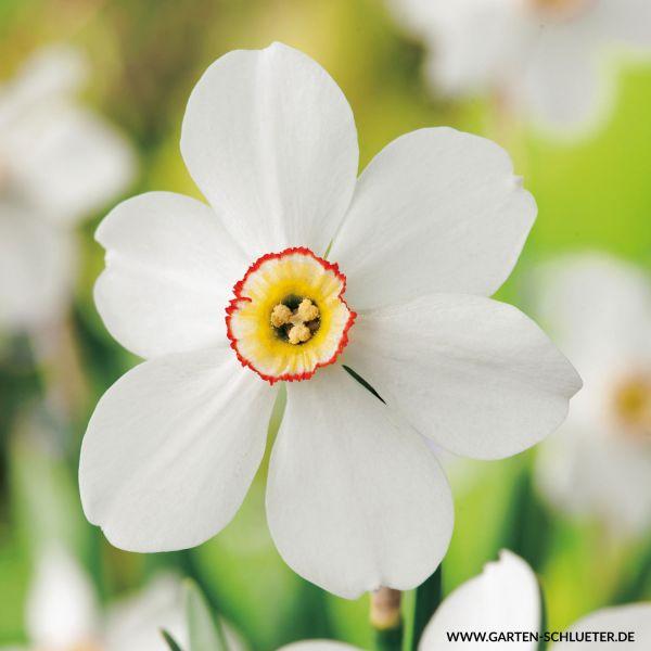 Großblumige duftende Narzissen 'Poeticus Recurvus' - Die Dichternarzisse Narcissus Bild