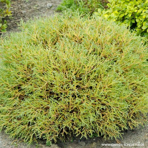 Abendländischer Lebensbaum 'Mr.Bowling Ball' Thuja occidentalis 'Mr.Bowling Ball' Bild