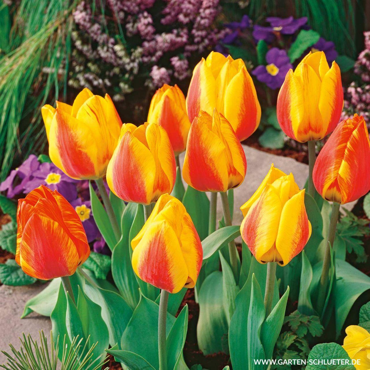 Garten-Schlueter.de: Einfache frühe Tulpe Flair - 10 Stück