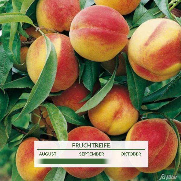 Pfirsich 'Revita' Prunus persica 'Revita' Bild