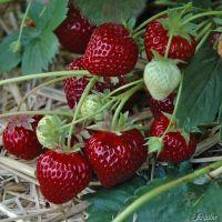 erdbeere 39 hummi aroma auslese 39 fragaria x ananassa erdbeeren garten schl ter. Black Bedroom Furniture Sets. Home Design Ideas