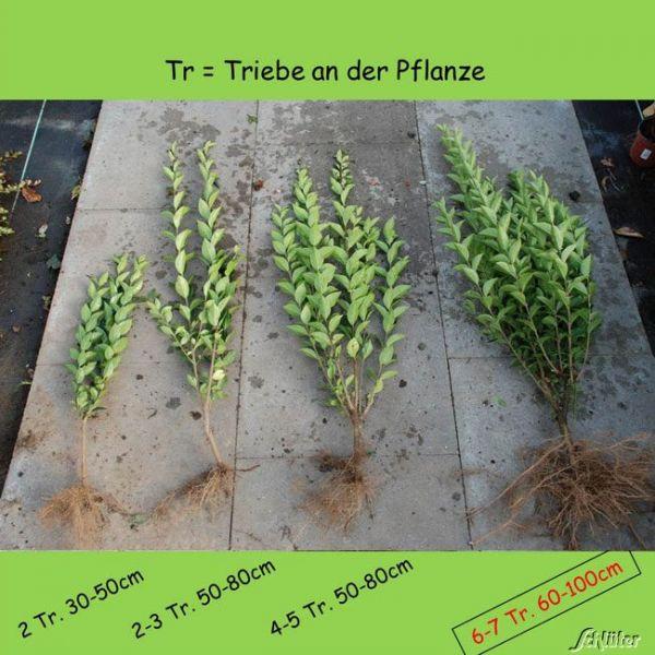 Wurzelnackte Pflanze, 6-7 triebig, 80-100cm, 5 Stück