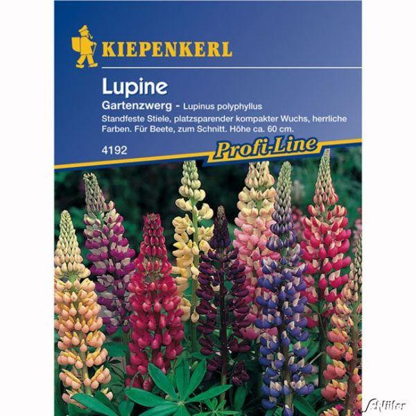 Lupinen 'Gartenzwerg' Lupinus polyphyllus Bild