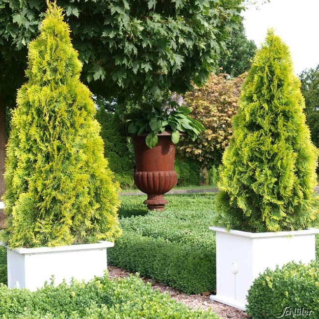 lebensbaum 39 golden smaragd 39 thuja occidentalis nadelhecken garten schl ter. Black Bedroom Furniture Sets. Home Design Ideas