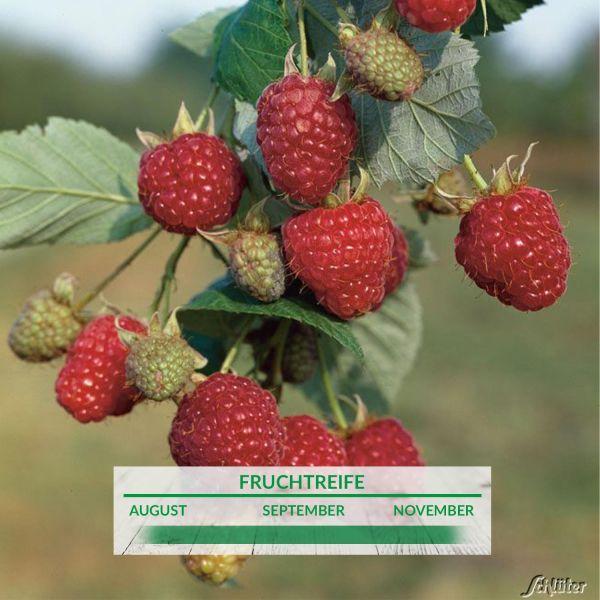 Himbeere 'Zefa 3' Herbsternte Rubus idaeus 'Zefa 3' Bild