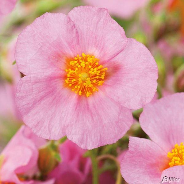Sonnenröschen 'Rosa' - 3 Stück Helianthemum Bild