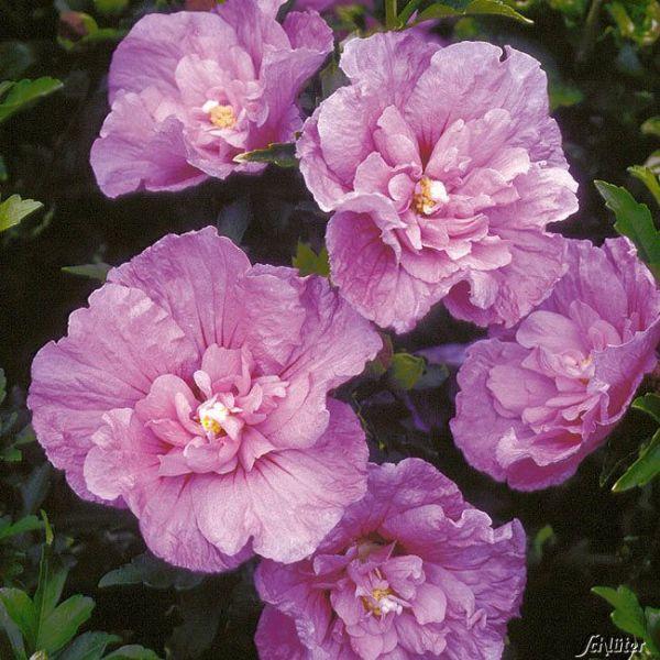 Hibiscus 'Lavender Chiffon®' Hibiscus syriacus 'Lavender Chiffon®' Bild