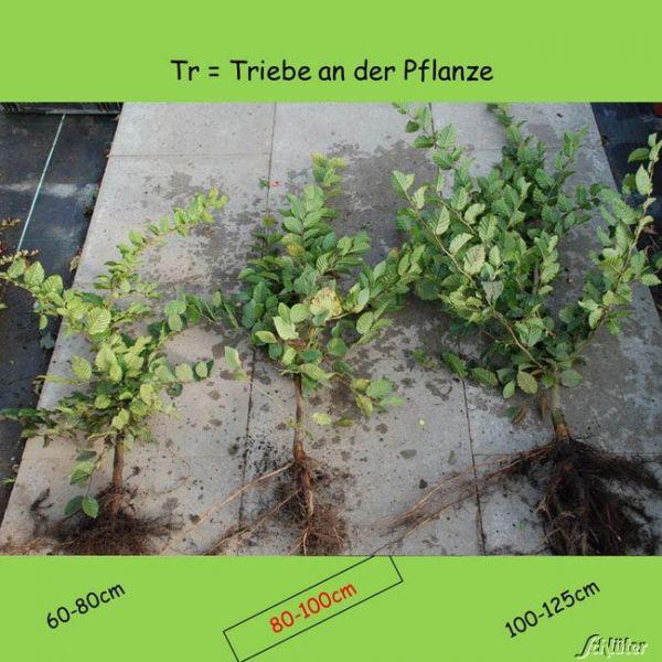 Wurzelnackte Pflanze, 80-100 cm
