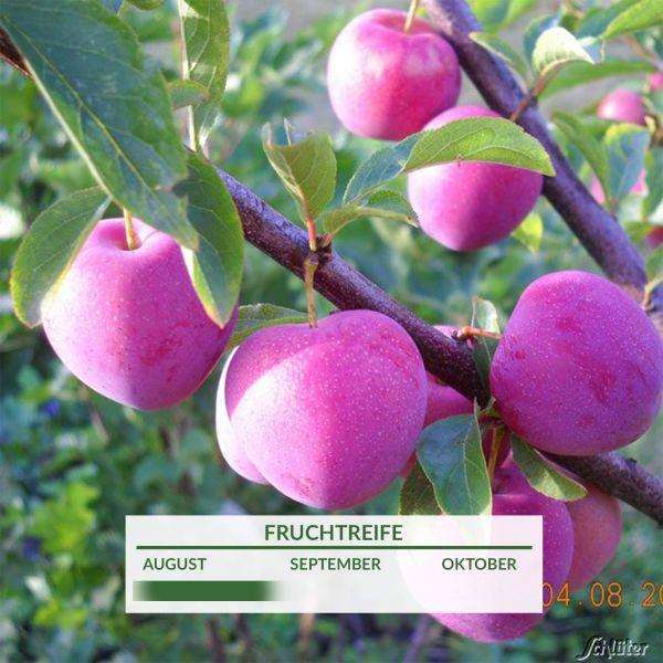 Japan-Pflaume 'Santa Rosa' Prunus domestica 'Santa Rosa' Bild