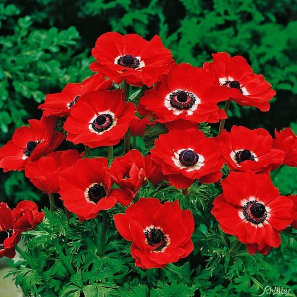 Garten-Anemone 'Hollandia' - 25 Stück Anemone coronaria 'Hollandia' Bild