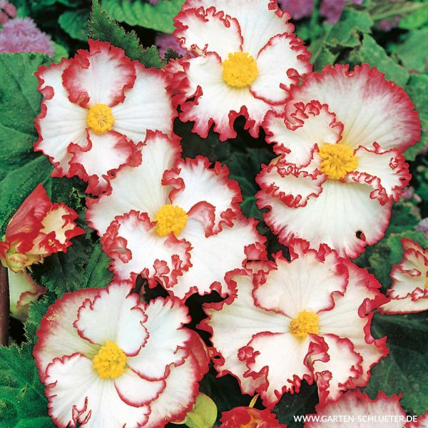 Begonie 'Crispa Marginata' - Rot-Weiß - 3 Stück Begonia Crispa Marginata Bild
