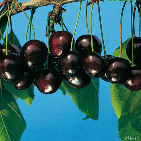 Süßkirsche 'Große Schwarze Knorpelkirsche' Prunus avium Bild