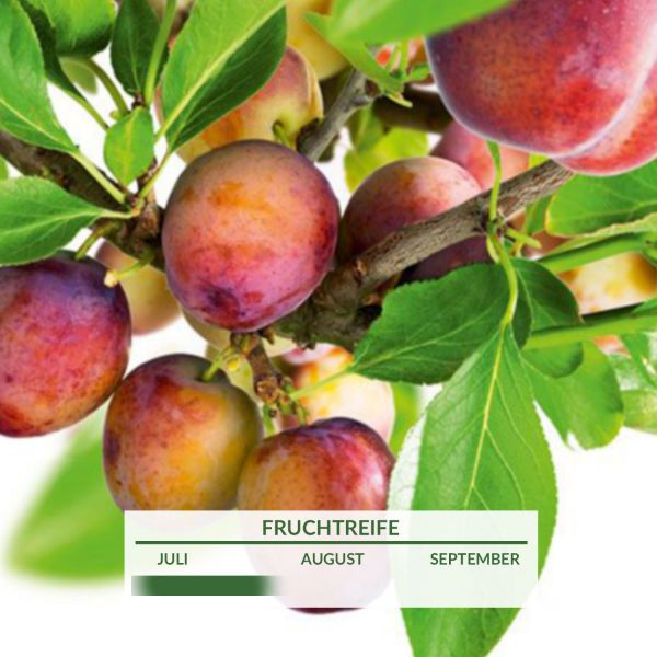 Pflaume 'Opal' Prunus Domestica 'Opal' Bild