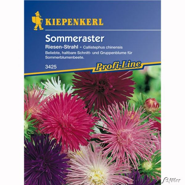 Sommeraster 'Riesen-Strahl' Callistephus chinensis Bild