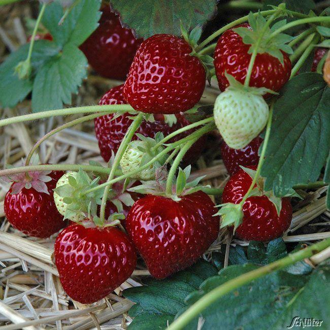 Erdbeere 'HUMMI-Aroma®-Auslese'