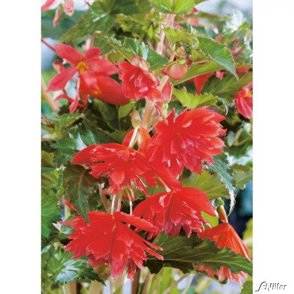 Hängebegonie 'Pendula Rot' - 3 Stück Begonia Bild