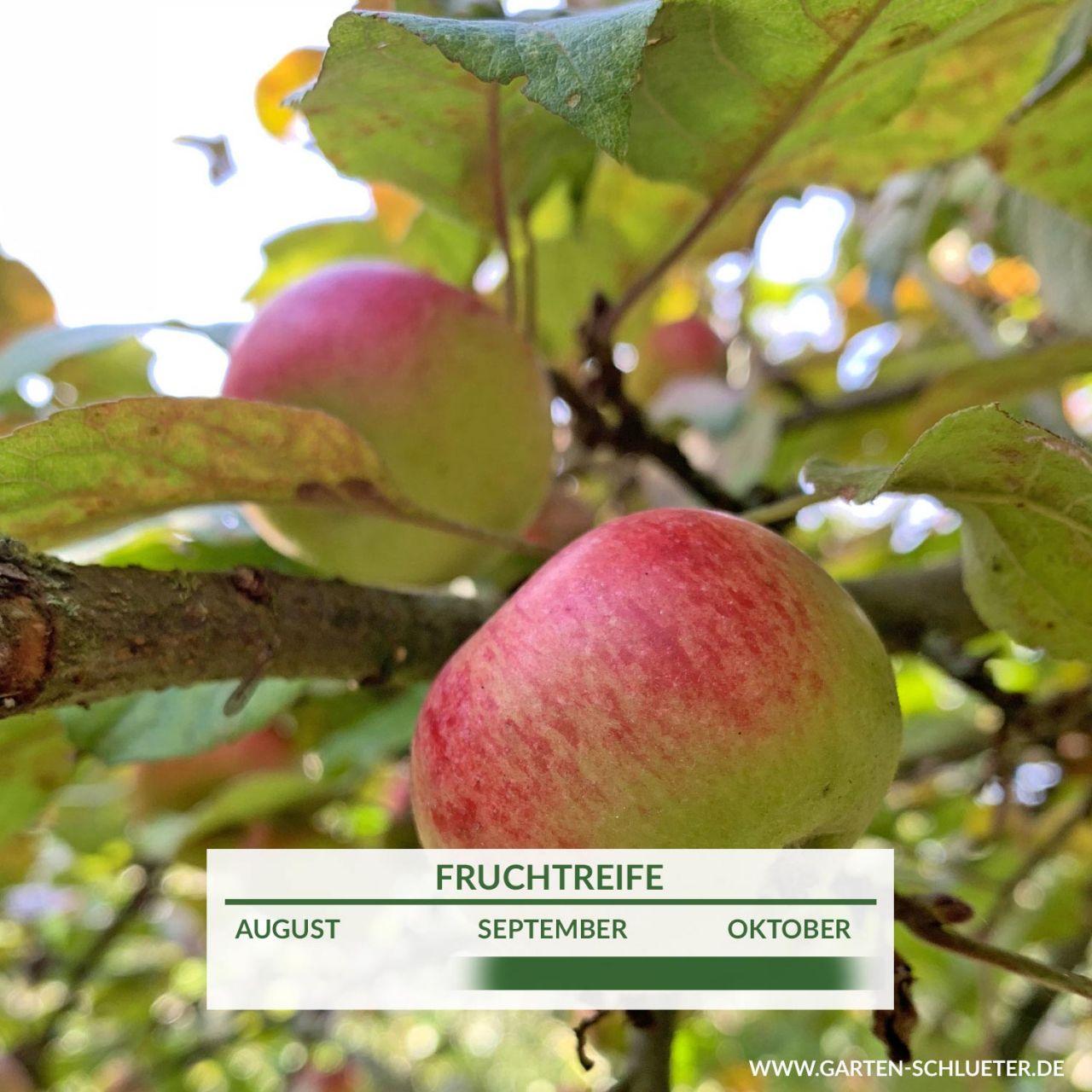 Garten-Schlueter.de: Apfel Prinz Albrecht von Preußen - Herbstapfel