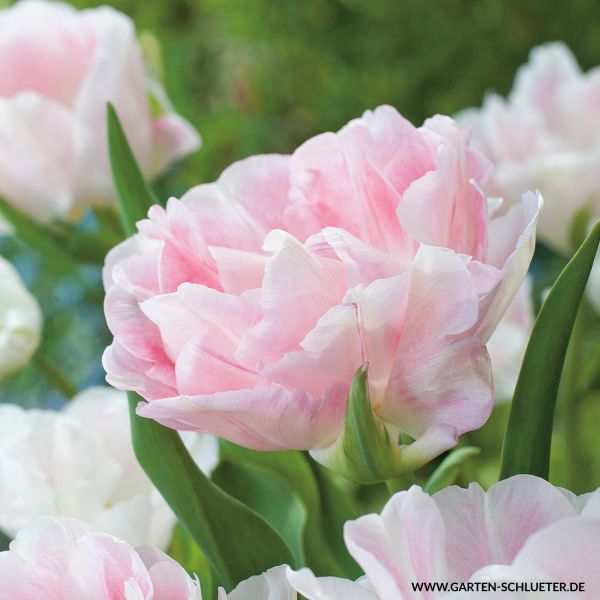 Gefüllte späte Tulpe 'Angelique' - 7 Stück Tulipa 'Angelique' Bild