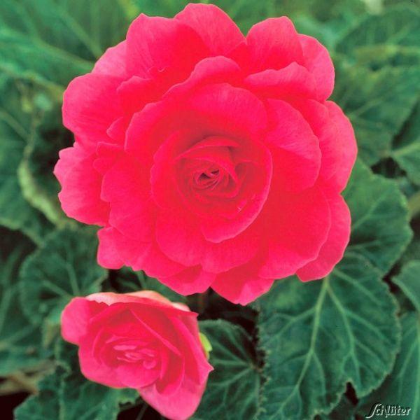 Riesenblütige Begonie 'Grandiflora Rosa' - 3 Stück Begonia Grandiflora Bild