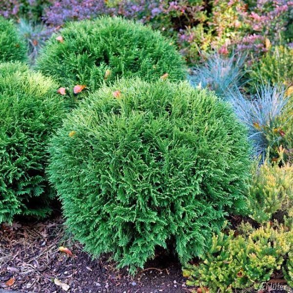 Kugel-Lebensbaum 'Tiny Tim' Thuja occidentalis 'Tiny Tim' Bild
