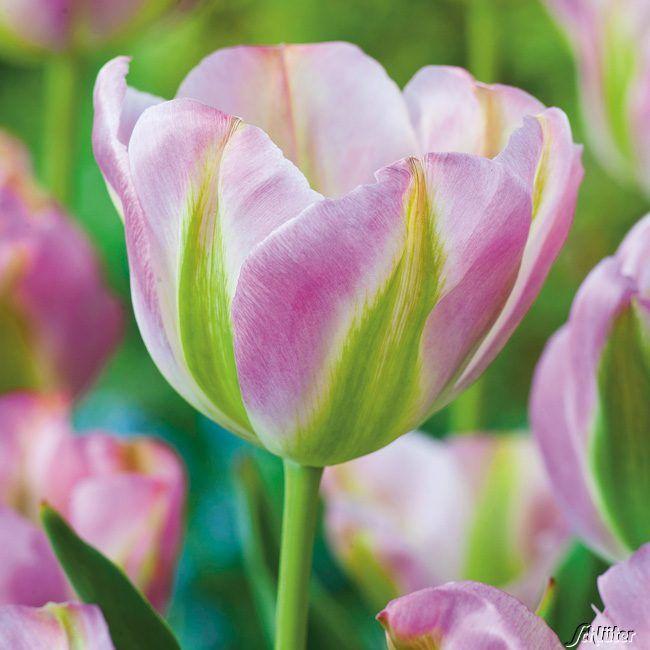 Garten-Schlueter.de: Viridiflora Tulpe Groenland - 7 Stück