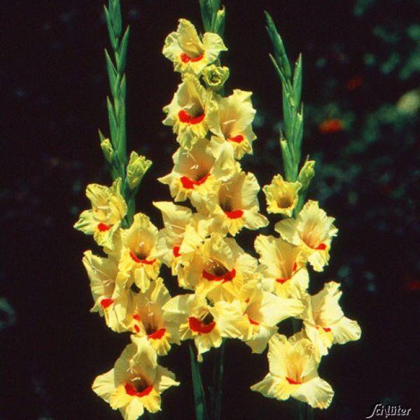 Gladiole 'Jester' - 10 Stück Gladiolus communis Bild