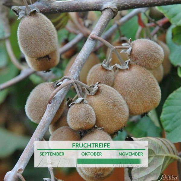 Große, selbstfruchtende Kiwi 'Solissimo® renact' Actinidia chinensis Bild