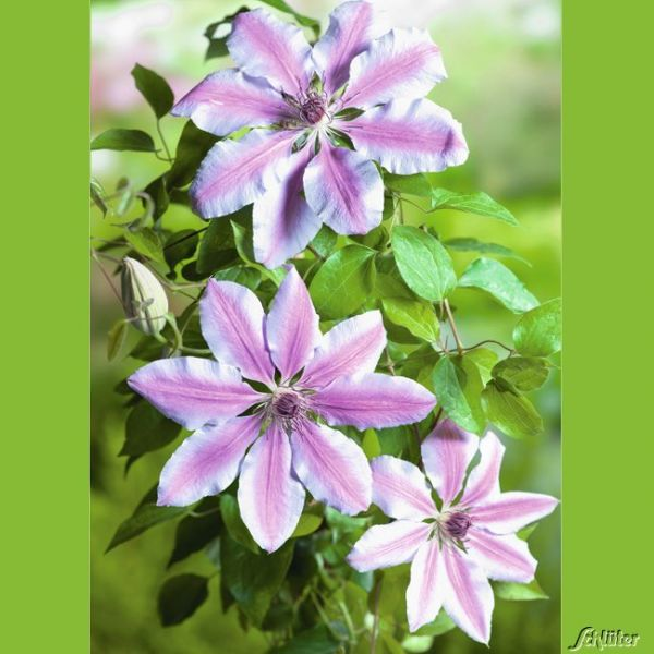 Clematis 'Nelly Moser' Clematis Hybride 'Nelly Moser' Bild