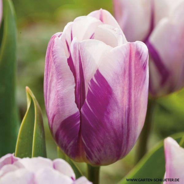 Triumph-Tulpe 'Flaming Flag' - 10 Stück Tulipa 'Flaming Flag' Bild