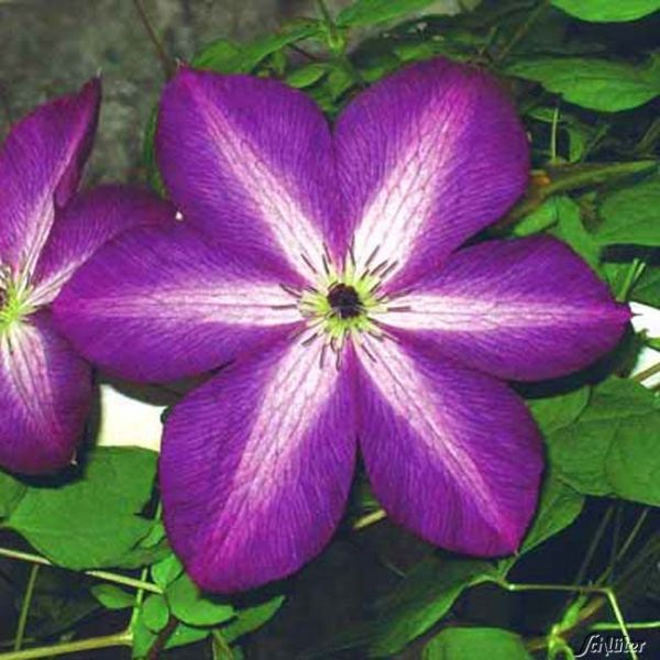 Clematis 'Venosa Violacea' Clematis viticella 'Venosa Violacea' Bild