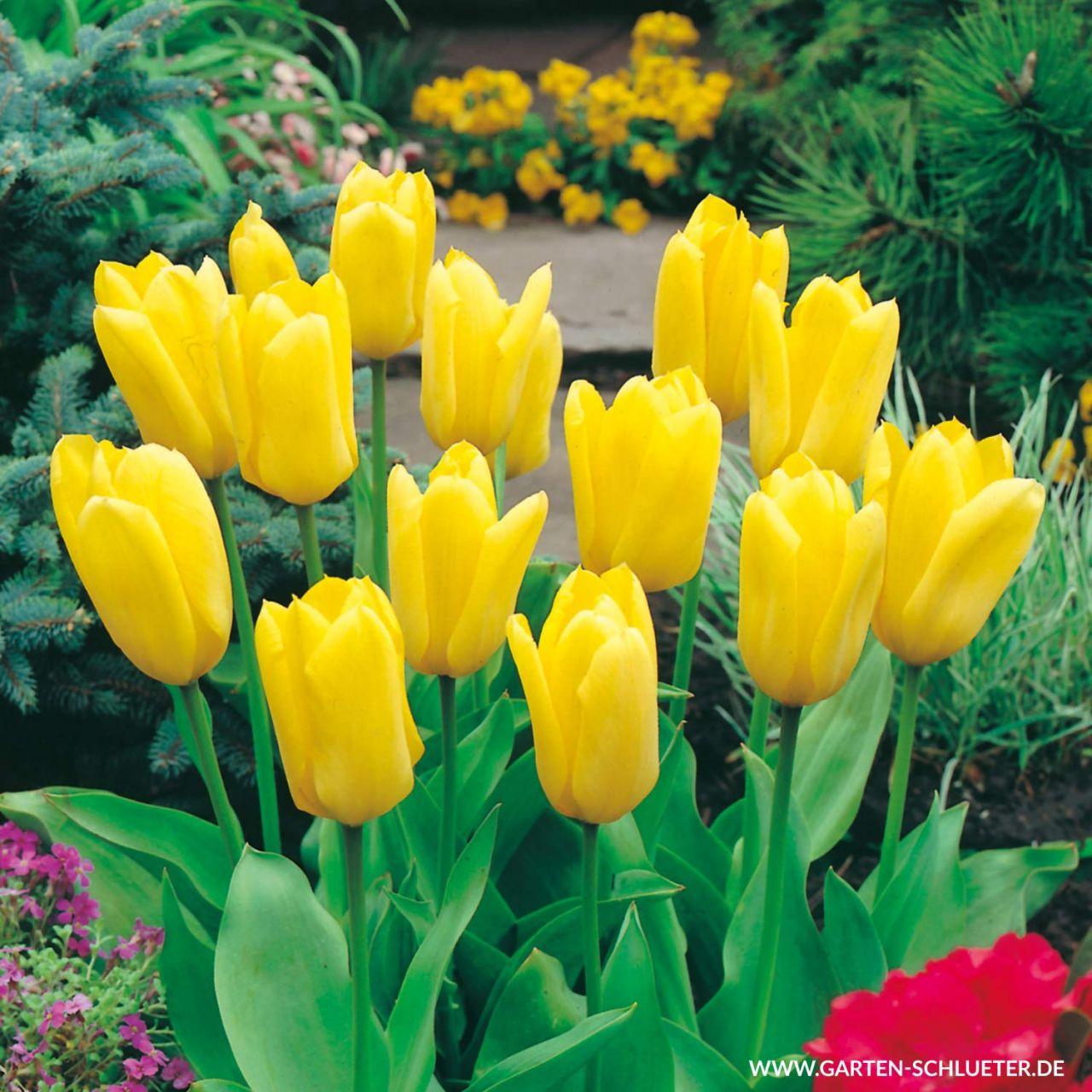 Garten-Schlueter.de: Fosteriana Tulpe Candela 10 Stück