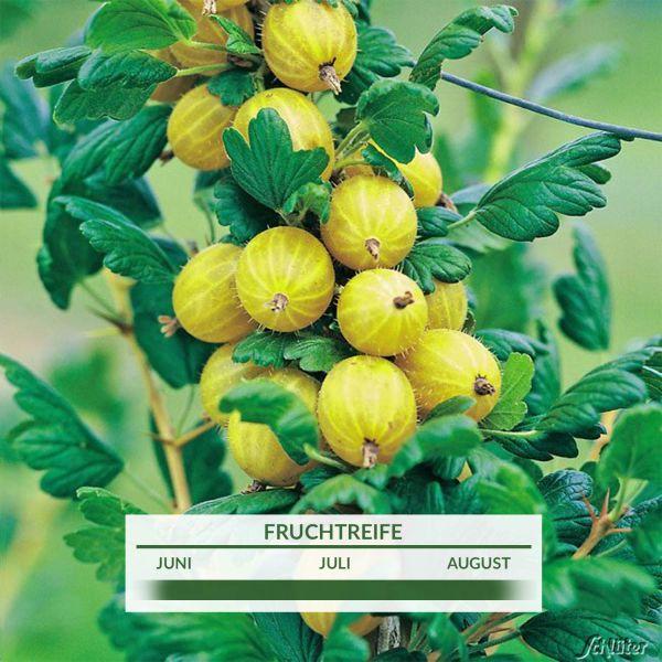 Stachelbeere 'Resistenta®' Ribes uva-crispa 'Resistenta®' Bild