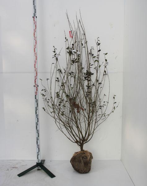 Mit Ballen, 150-175 cm, 10 Pflanzen