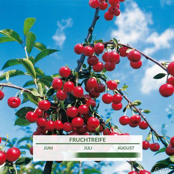 Sauerkirsche 'Saphir®' Prunus 'Saphir®' Bild