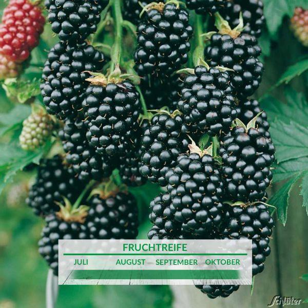 Brombeere 'Navaho®' (dornenlos) Rubus fruticosus 'Navaho®' Bild