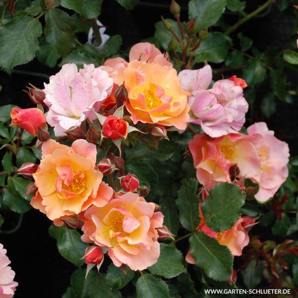 Bodendeckerrose 'Jazz®' Rosa 'Jazz®' Bild
